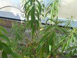 potager 1er juin verveine citronnelle (2)