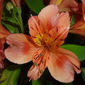 Alstroemeria orange - détail