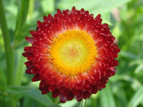 2008 08 25 Une fleur d'Immortelle