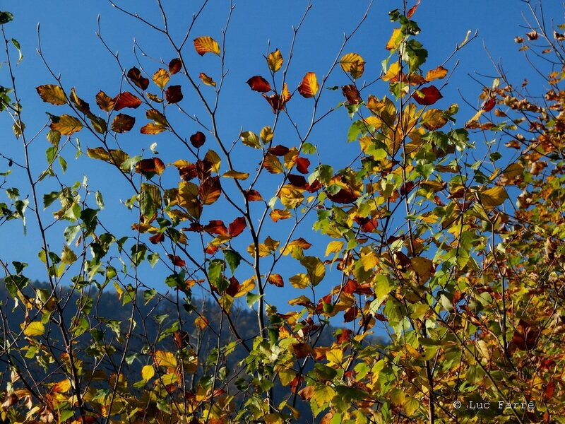 col de marocas feuilles