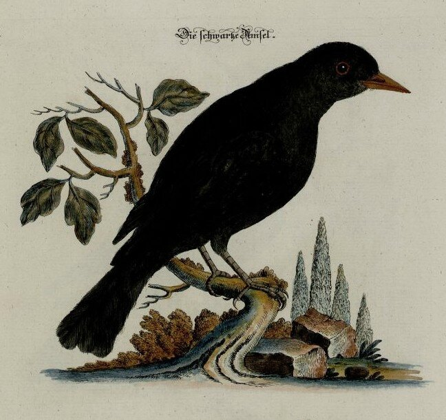 Blackbird by Johann Daniel Meyer - 1752