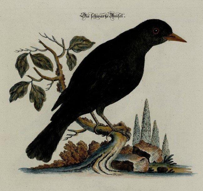 Le merle un oiseau plus noir que le corbeau zimzimcarillon for Oiseau noir bec jaune
