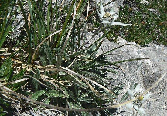 feuilles radicales oblongues-lancéolées