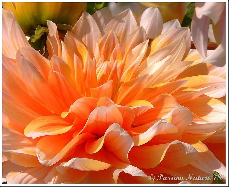 Il est temps de proc�der � l'arrachage des dahlias - Passion Nature 78