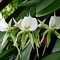 orchidée comètes