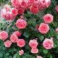 Le rosier grimpant 'Kimino' en bouquet