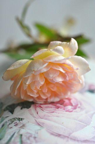 rose boite0