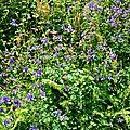 Ancolie commune, aquilegia vulgaris...