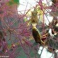 Punaises colonisant les inflorescences de l'arbre à perruques