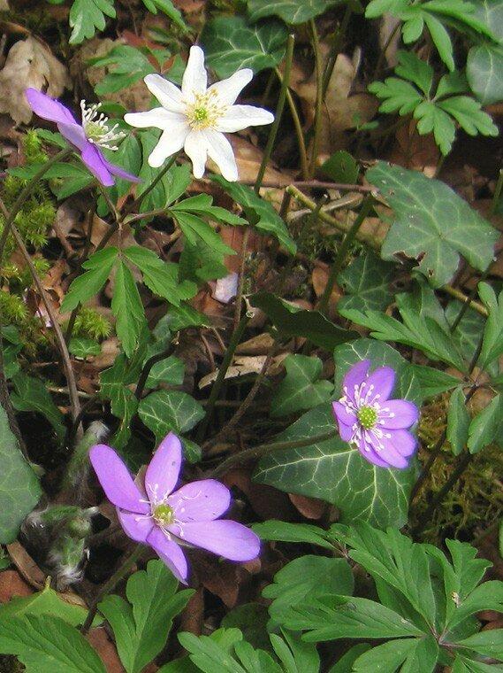 Fleurs_vernales