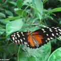 Heliconius hecale • Heliconiidae • Costa Rica