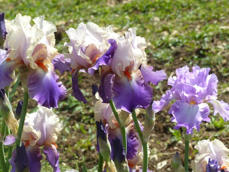 iris vague à l'âme et ruffled goddess