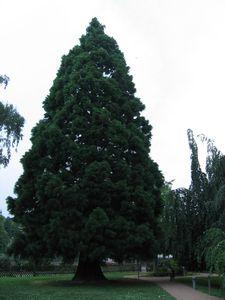 IMG_14945 La Pépinière Jardin des 5 Sens Séquoia