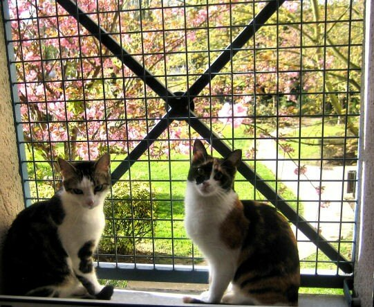 Chats_cerisier
