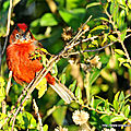 Araguira rougeâtre (coryphospingus cucullatus)