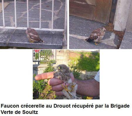 Faucon crécerelle au Drouot