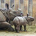 Rhinocéros indien : naissances en normandie et en pologne