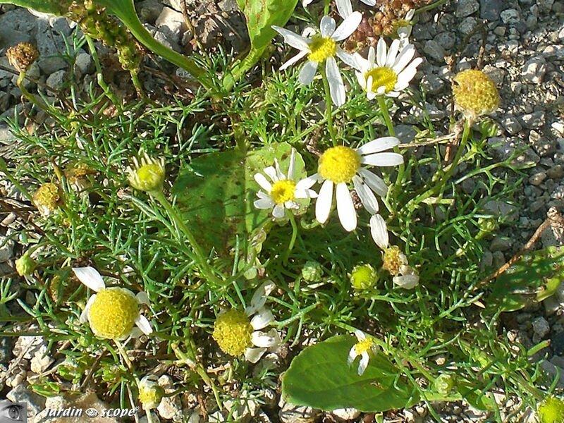 Camomille sauvage • Matricaria reticulata