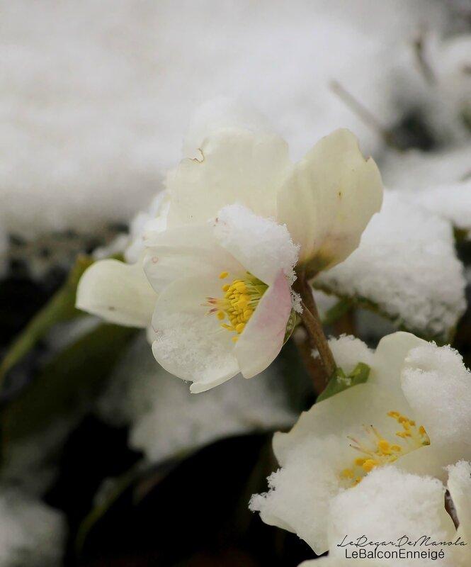le balcon enneigé....ces fleurs d'hiver ont l'air