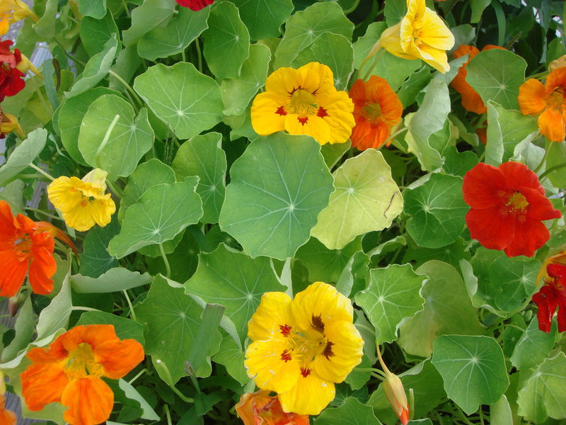 La capucine une pagneule raconte - Coloriage fleur capucine ...