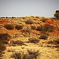 antilopes et dunes du kalahari