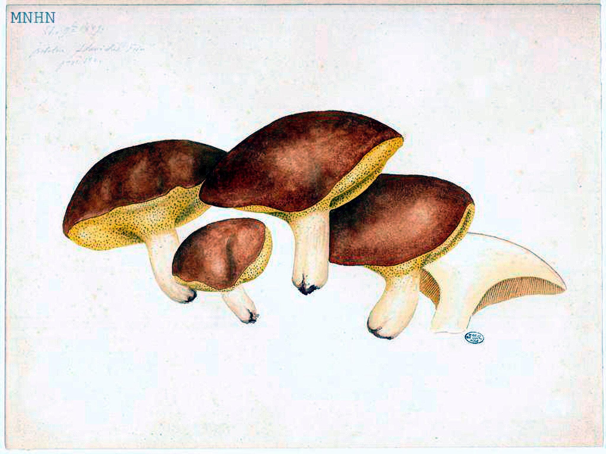 23 Boletus flavidus granulatus b