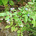 Airelle à feuilles étroites - Bleuets - Highbush Blueberry