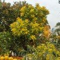 mimosa et agrumes