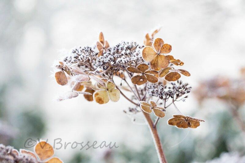 hortensia-hiver-15-06