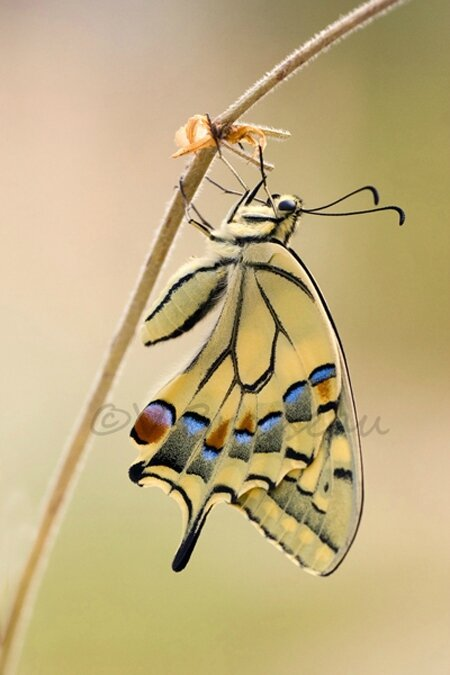machaon010