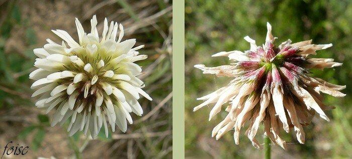 fleurs blanches réfléchies à la fin calice peu velu à dents dressées acuminées