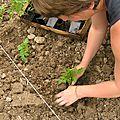 Plantation tomates