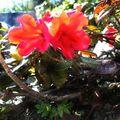 29 05 10 Rhododendron Hybrid (2)