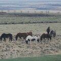 Ahhh l'islande et les chevaux !!!
