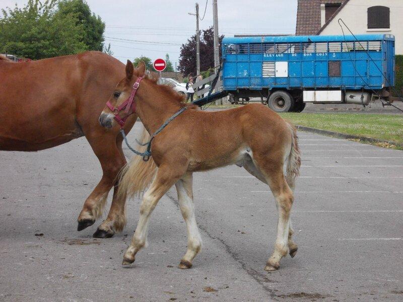 Fil du Boncoin - 18 Juin 2015 - Concours d'élevage local - Arneke