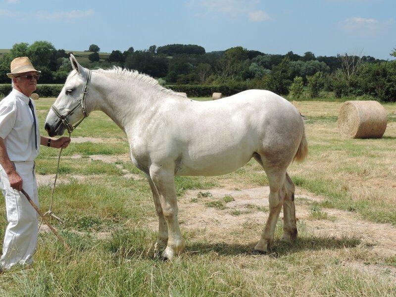 Gitane du Pré - 18 Juin 2017 - Concours d'élevage local - Samer (62) - 1ere (1 an)