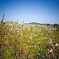 champ d'asphodèles