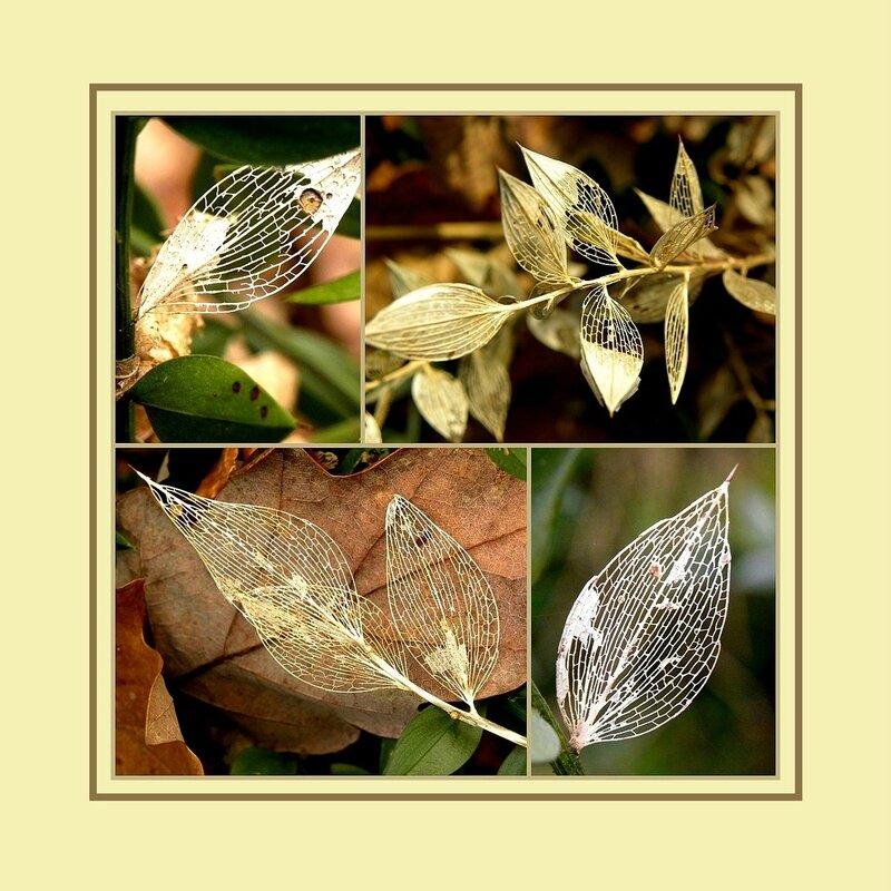 squelettes feuilles fragon