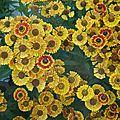 Helenium autumnae Mariachi Fuego