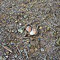 Jeunes cèpes de Bordeaux sur sol d'éboulis...