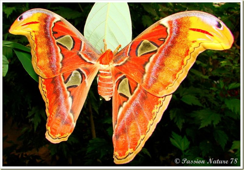 Papillon Attacus Atlas ou Bombyx Atlas (3)
