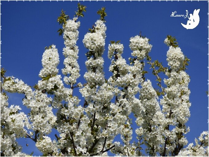 cerisier 4