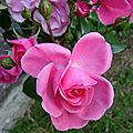 Profusion de roses