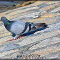 pigeon (Columba)