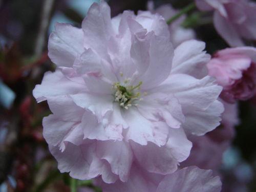 2008 05 11 Une fleur de cerisier d'ornement