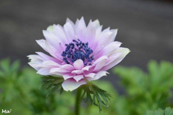170319_anemone