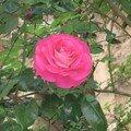 Rose rose (en Provence)