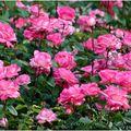 Des roses....