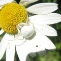 L'araigne ,couleur de la marguerite ..