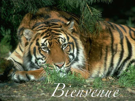 tigre_bienvenue